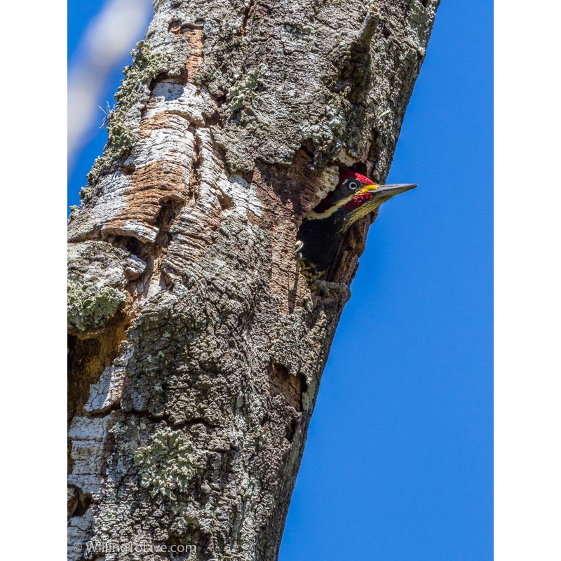 Lineated Woodpecker in Três Picos